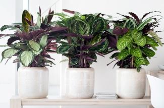 Blog: Calathea woonplant