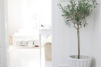 Olijvenboompjes en vijgenboompjes in huis