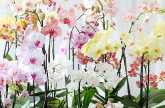 Blog: Phalaenopsis (Orchidee)