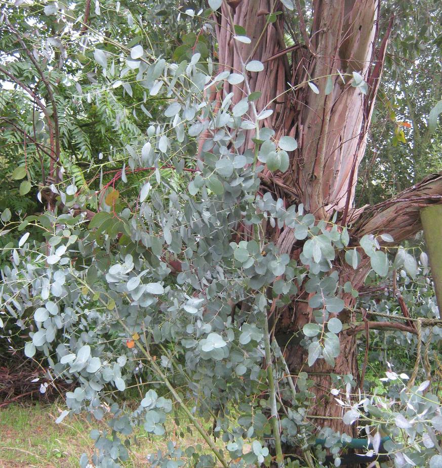 eucalyptus als kamerplant